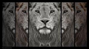 Lejon i spegel, 33x60 cm, foto, Upplaga 10