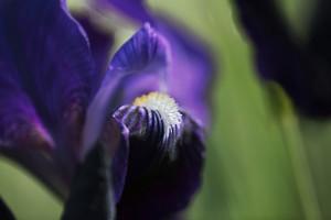 Bla¦è iris 1_LU